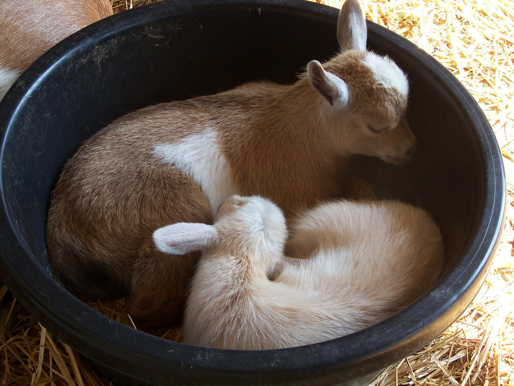 Baby Goats by Photography708