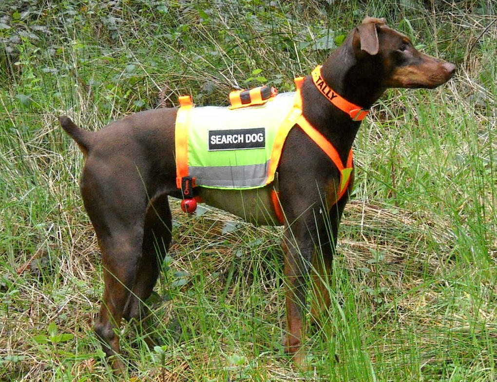 Tally - - Search Dog by gwn3030
