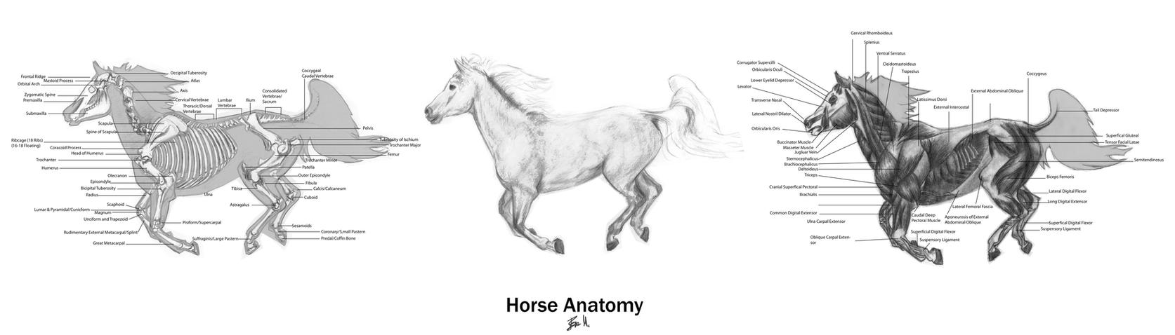 Animal Anatomy: Horse 01 by 89ravenclaw on DeviantArt