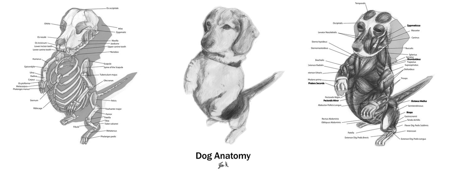 Animal Anatomy Dog By 89ravenclaw On Deviantart