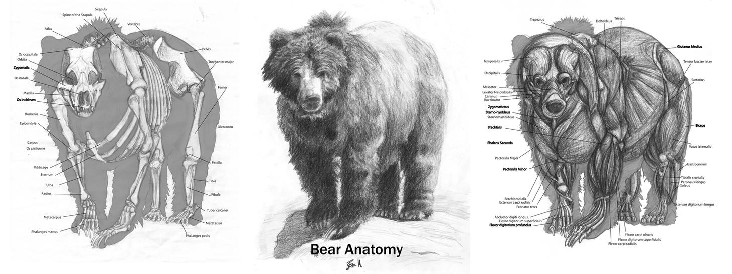 Animal Anatomy: Grizzly Bear by 89ravenclaw on DeviantArt