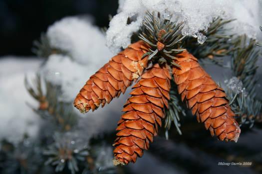 Winter Acorn