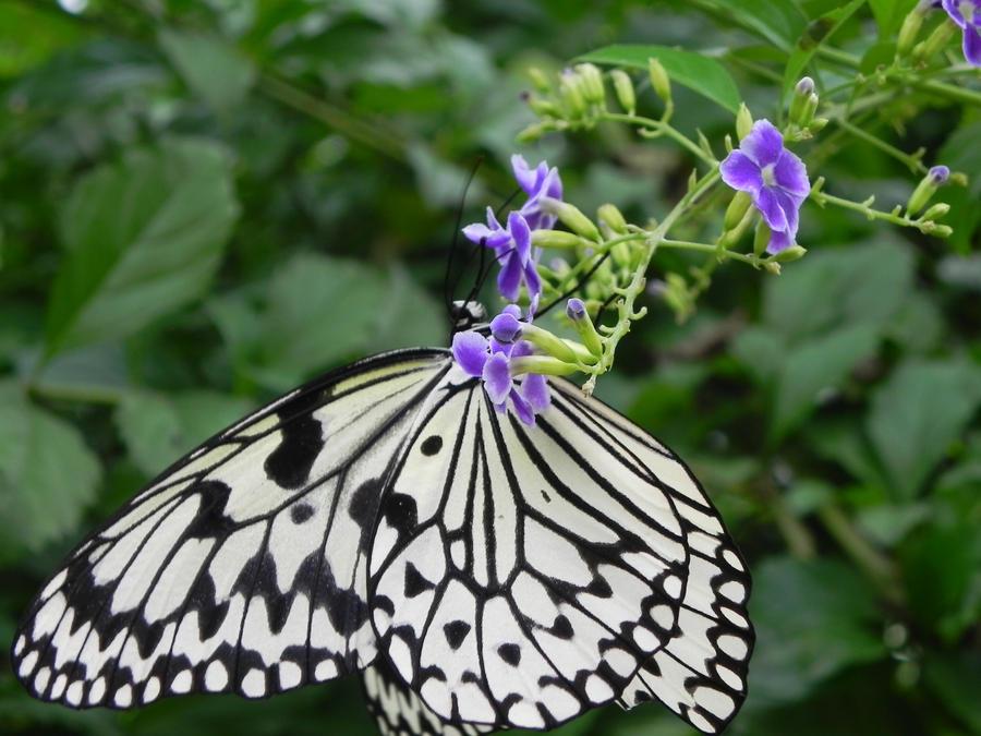 Japanese Butterflies b...