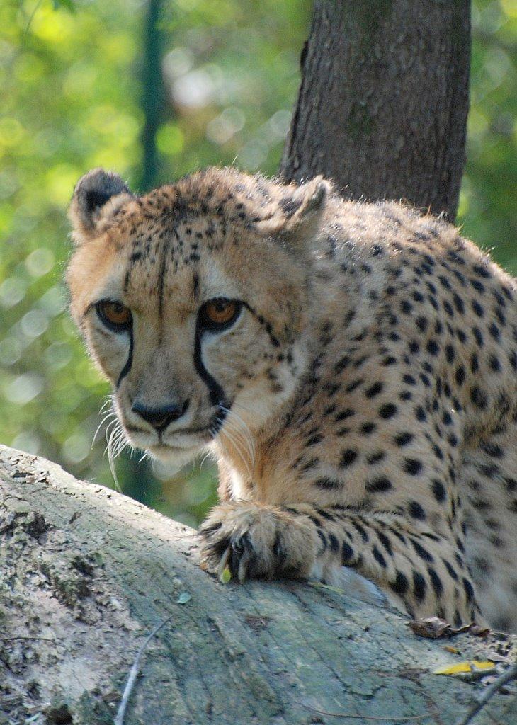 Cheetah I by tleach0608