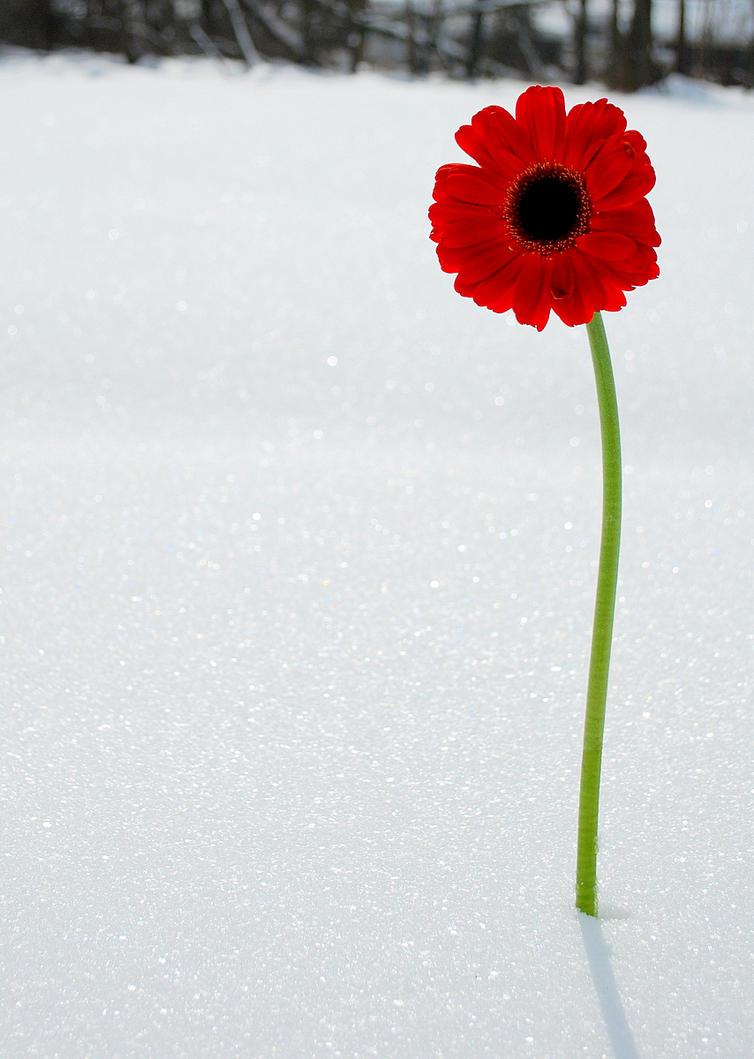 Red Gerber Daisy in Snow by tleach0608