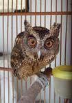 owly3