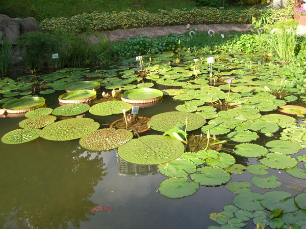lily pads 1.5 by meihua-stock