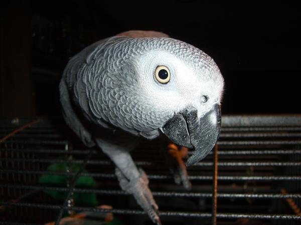african grey parrot 6.2