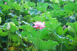 lotus 3.1