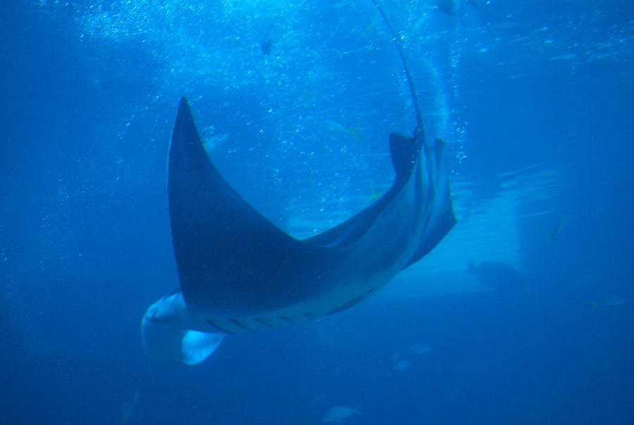 manta ray 1.3 by meihua-stock