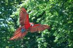 greenwing macaw 1.2