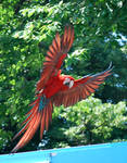 greenwing macaw 1.1