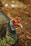ocellated turkey 3