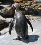 humboldt penguin 2.2