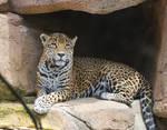 jaguar 1.1