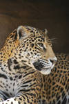 jaguar 1.3