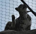 snow leopard 2.2