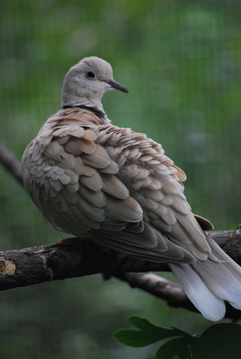 ring-necked dove 1.3 by meihua-stock