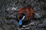 ruddy duck 3.1