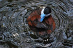 ruddy duck 3.2