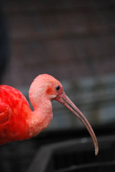 scarlet ibis 4.1