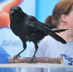 american crow 2.1