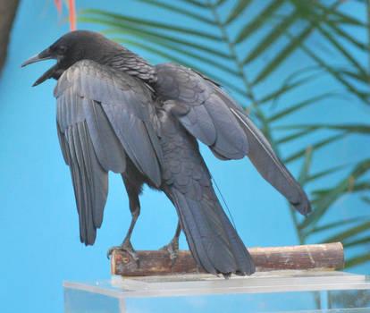 american crow 2.3