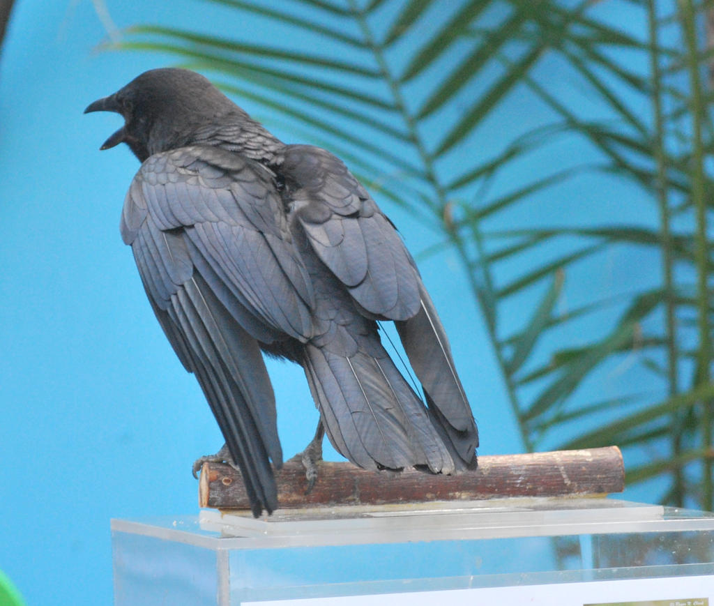 american crow 2.5 by meihua-stock