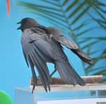 american crow 2.6