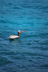 brown pelican 6.4