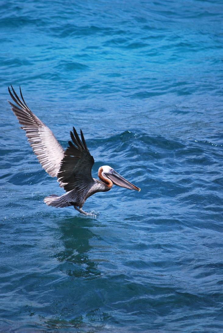 brown pelican 6.11 by meihua-stock