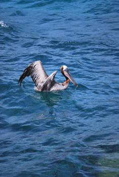 brown pelican 6.12