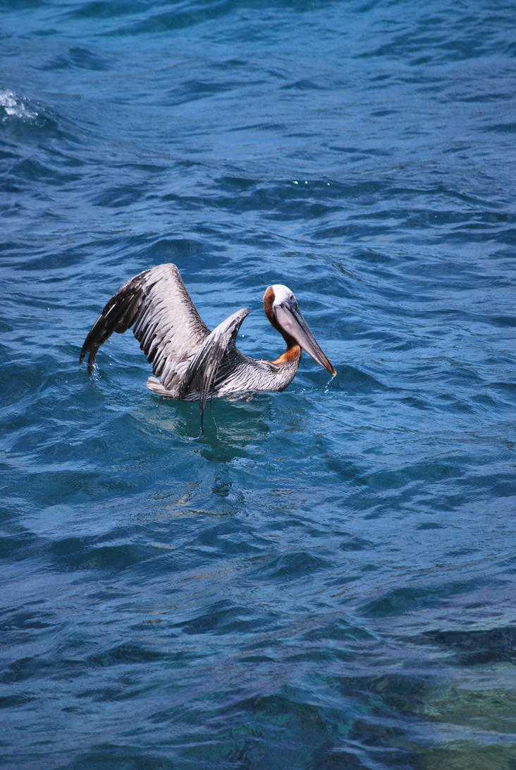 brown pelican 6.12 by meihua-stock