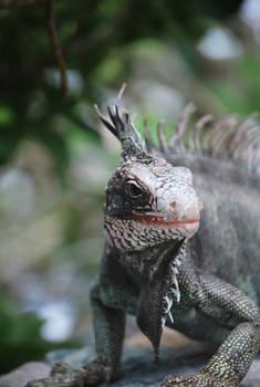 iguana 3.12
