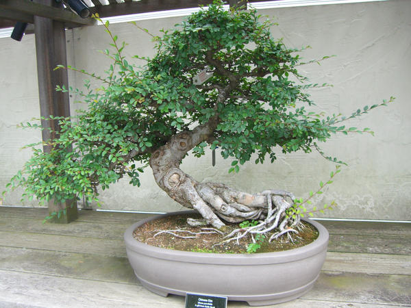 bonsai 1.2 - chinese elm by meihua-stock