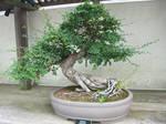 bonsai 1.2 - chinese elm