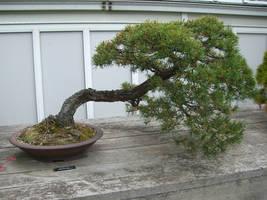 bonsai 1.5 - scotch pine by meihua-stock