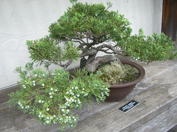 bonsai 1.8 - chinese juniper by meihua-stock