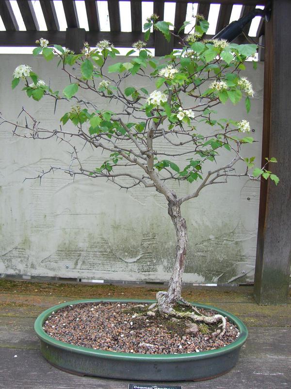 bonsai 1.12 - cherry by meihua-stock