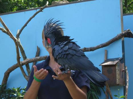 palm cockatoo 1.2 by meihua-stock