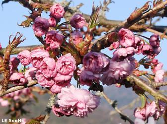Fleurs de cerisier by SouHkman