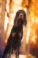Nikki the setter II. by Lina-182