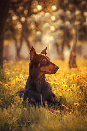 Doberman elegance by Lina-182