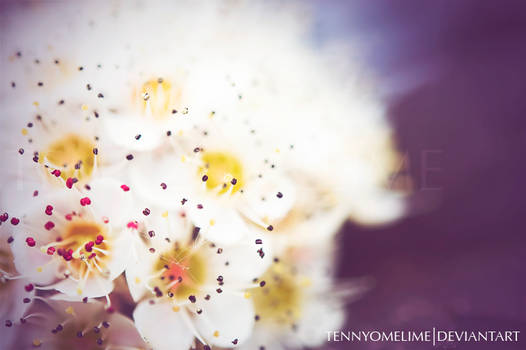 Tiny White Flowers 002