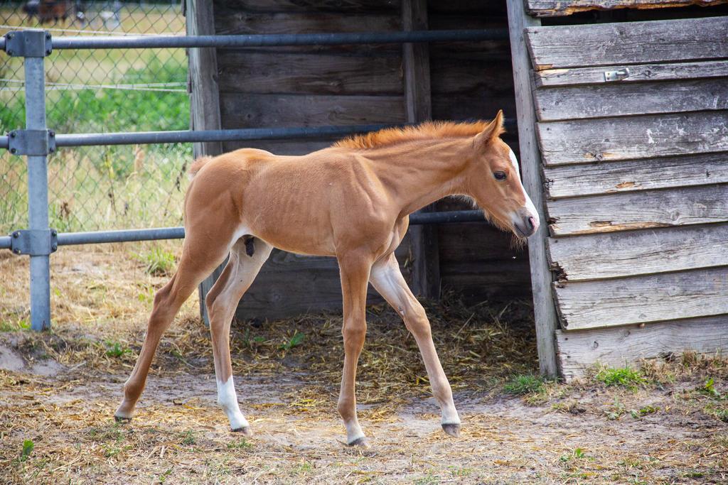 Foal Stock 004 by TARSKYN