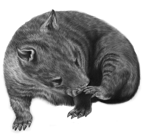 Wombat Drawing Wombat +Tutorial by Pe...