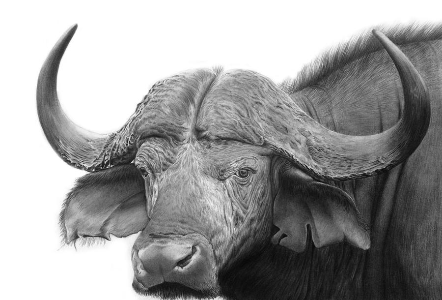 African buffalo by pencilsessions