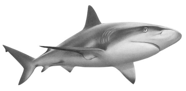 Caribbean Reef Shark + tutorial by PencilSessions