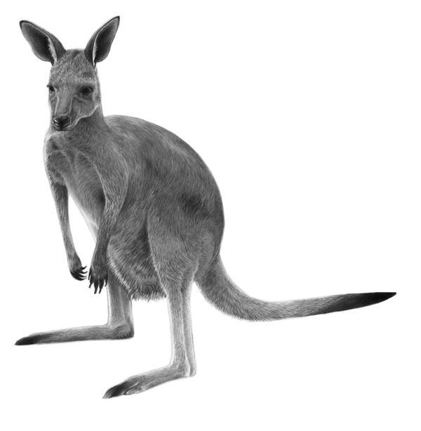 Kangaroo by PencilSessions