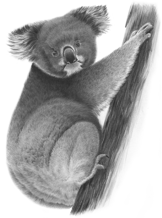 Koala + Tutorial by PencilSessions